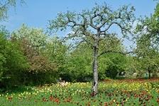 Britzer Garten 2013 Frühjahr - Tulipan