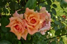 Britzer Garten 2014 Rosenblüte
