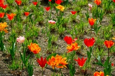 Britzer Garten 2014 Tulipan
