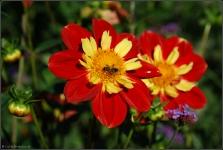 Britzer Garten 2015 Dahlienfeuer © Lutz Griesbach_112