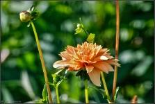 Britzer Garten 2015 Dahlienfeuer © Lutz Griesbach_29