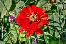 Britzer Garten 2015 Dahlienfeuer © Lutz Griesbach_31