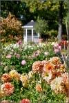 Britzer Garten 2015 Dahlienfeuer © Lutz Griesbach_35