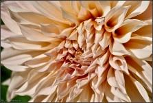 Britzer Garten 2015 Dahlienfeuer © Lutz Griesbach_36