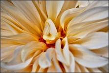 Britzer Garten 2015 Dahlienfeuer © Lutz Griesbach_40