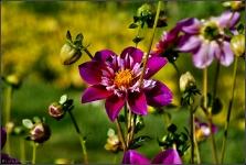 Britzer Garten 2015 Dahlienfeuer © Lutz Griesbach_51