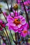 Britzer Garten 2015 Dahlienfeuer © Lutz Griesbach_55