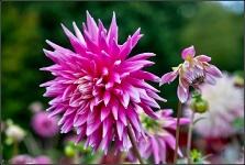 Britzer Garten 2015 Dahlienfeuer © Lutz Griesbach_61