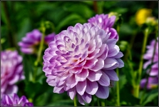 Britzer Garten 2015 Dahlienfeuer © Lutz Griesbach_63