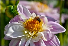 Britzer Garten 2015 Dahlienfeuer © Lutz Griesbach_68