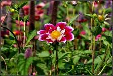 Britzer Garten 2015 Dahlienfeuer © Lutz Griesbach_76