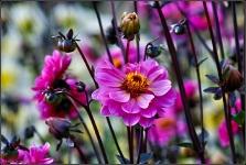 Britzer Garten 2015 Dahlienfeuer © Lutz Griesbach_86