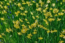 Britzer Garten 2015 Tulipan
